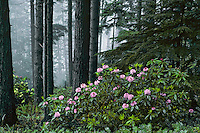 Pacific Rhododendron in douglas fir forest, Pacific N.W., May.