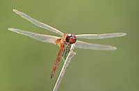 388590002 a wild male striped saddlebags tramea calverti perches on a dead twig at santa ana national wildlife refuge hidalgo county in the rio grande valley in south texas
