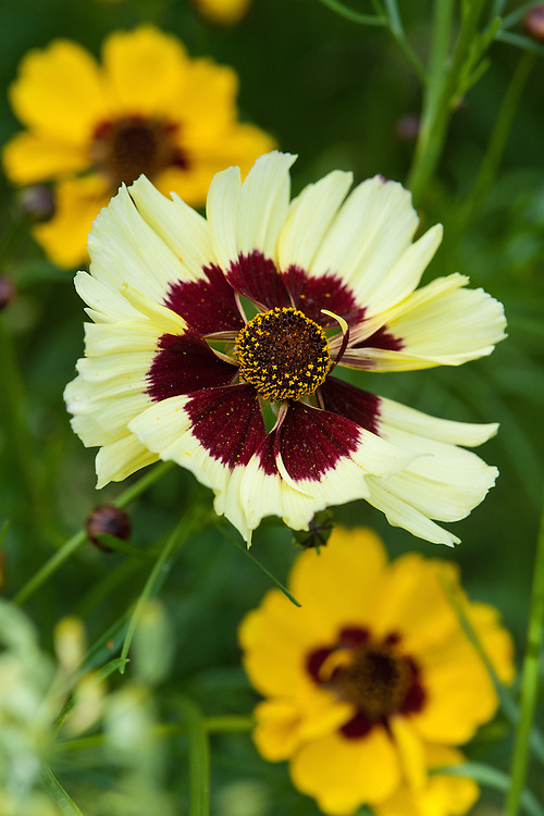 Coreopsis x hybrid 'Incredible' Tall Mix, late August.