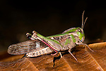 Grasshopper, Bandhavgarh National Park.India....
