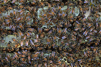 Honey combs with bees