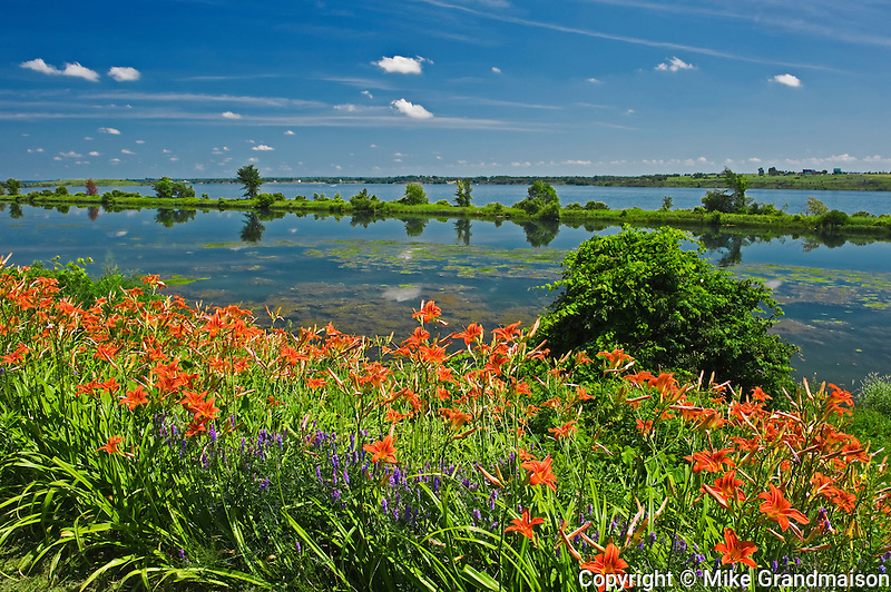 day lilies on shore of St. Lawrence River<br /> JOHNSTOWN<br /> Ontario<br /> Canada