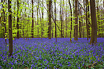 Bluebells in the Bois de Hal, Hallerbos, Belgium