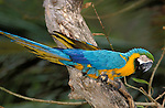 Blue and Yellow or Gold Macaw, Ara ararauna, endangered, rainforest habitat, jungle, parrot, captive.Trinidad....