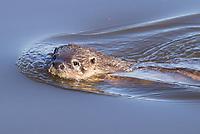 Otter (Lutra lutra) swimming. Dorset, UK.