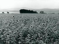 Sonnenblumenfeld in Bulgarien 1991