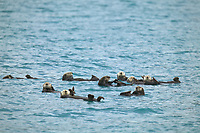Raft of sea otters float on their backs in the waters of Port Wells, Prince William Sound, Alaska