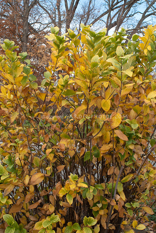 Calycanthus floridus 'Yellow Flower' Allspice shrub in autumn fall foliage gold leaf color