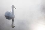 Japan, Hokkaido, whooper swan warming up in shallow lake near hot spring