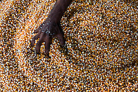 A Navdanya staff rakes through dried corn in the farm in Dehradun, Uttarakhand, India, on 6th September 2009...Dr. Vandana Shiva, the founder of Navdanya Foundation and Bijavidyapeeth, is a physicist turned environmentalist who campaigns against genetically modified food and teaches farmers to rely on indigenous farming methods.. .Photo by Suzanne Lee / For The National