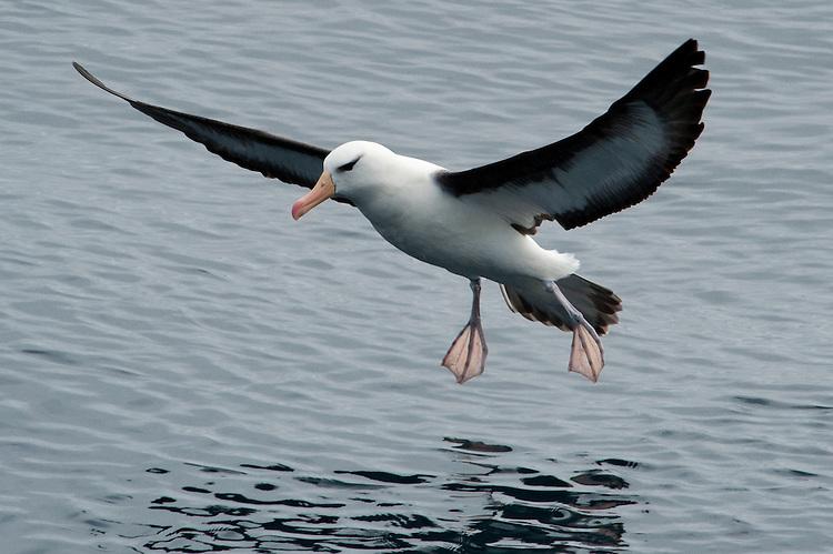 The Black-browed Albatross or Black-browed Mollymawk, Thalassarche melanophrys, Drake Passage, Antarctica