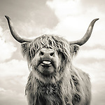 Close up of Highland cattle on a farm
