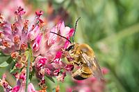Langhornbiene, Langhorn-Biene, Männchen, Eucera spec., Long-Horned Bee, male, Kroatien, Croatia