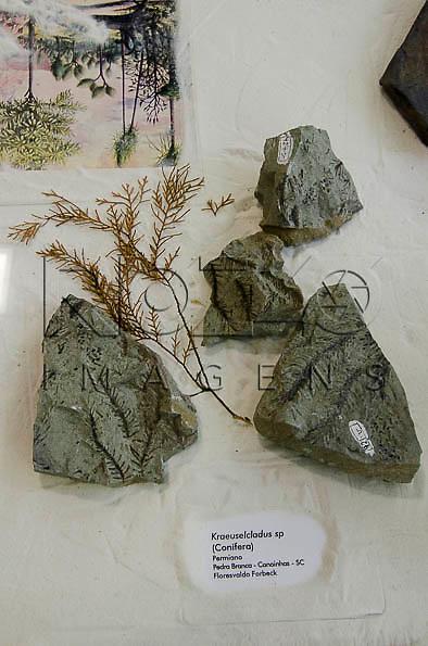 Planta fossilizada, Kraeuselcladus sp (Conífera), Permiano, Pedra Branca - Canoinhas - SC. Museu Geológico Valdemar Lefèvre, São Paulo - SP, 07/2014.
