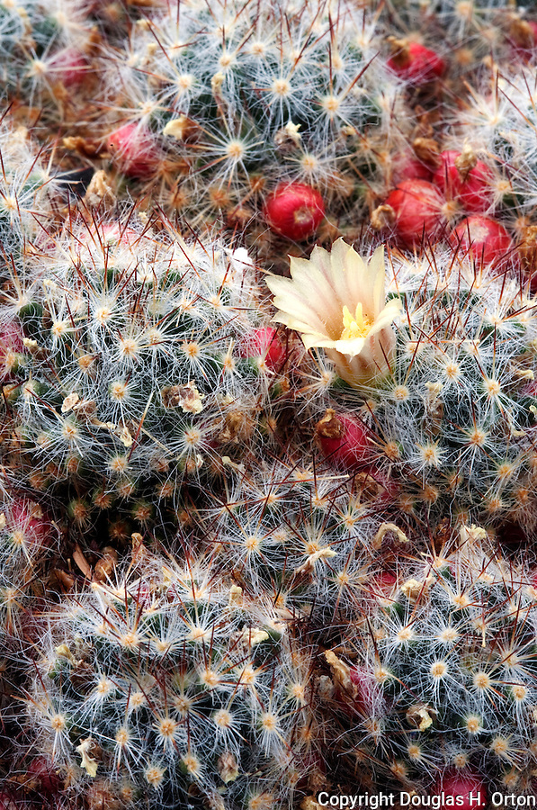 Texas Nipple Cactus, Cactaceae, Mammillaria, prolifera, small compact cactus grows to less than six inches.  Native to U.S state of Texas and the Caribbean.