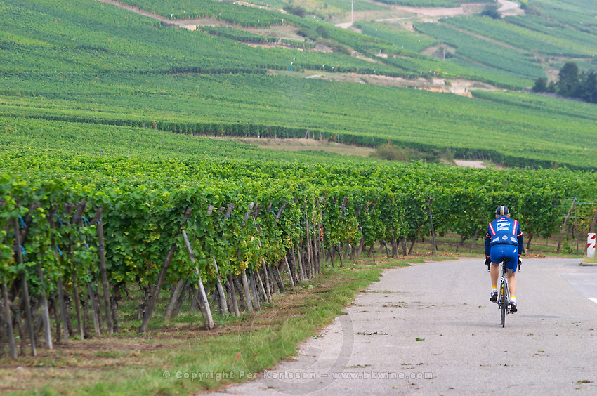 cyclist vineyard kientzheim alsace france
