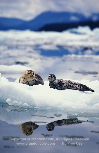 km2307. Harbor Seals (Phoca vitulina), mother and pup on iceberg at base of tidewater glacier. Alaska, USA, Pacific Ocean..Photo Copyright © Brandon Cole. All rights reserved worldwide.  www.brandoncole.com..This photo is NOT free. It is NOT in the public domain. This photo is a Copyrighted Work, registered with the US Copyright Office. .Rights to reproduction of photograph granted only upon payment in full of agreed upon licensing fee. Any use of this photo prior to such payment is an infringement of copyright and punishable by fines up to  $150,000 USD...Brandon Cole.MARINE PHOTOGRAPHY.http://www.brandoncole.com.email: brandoncole@msn.com.4917 N. Boeing Rd..Spokane Valley, WA  99206  USA.tel: 509-535-3489