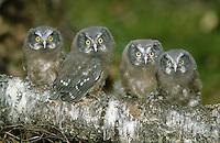 Raufusskauz, Raufußkauz, Rauhfusskauz, Rauhfußkauz, flügge Küken auf einem Ast, Ästlinge, Raufuss-Kauz, Raufuß-Kauz, Kauz, Käuzchen, Aegolius funereus, Tengmalm's owl, boreal owl