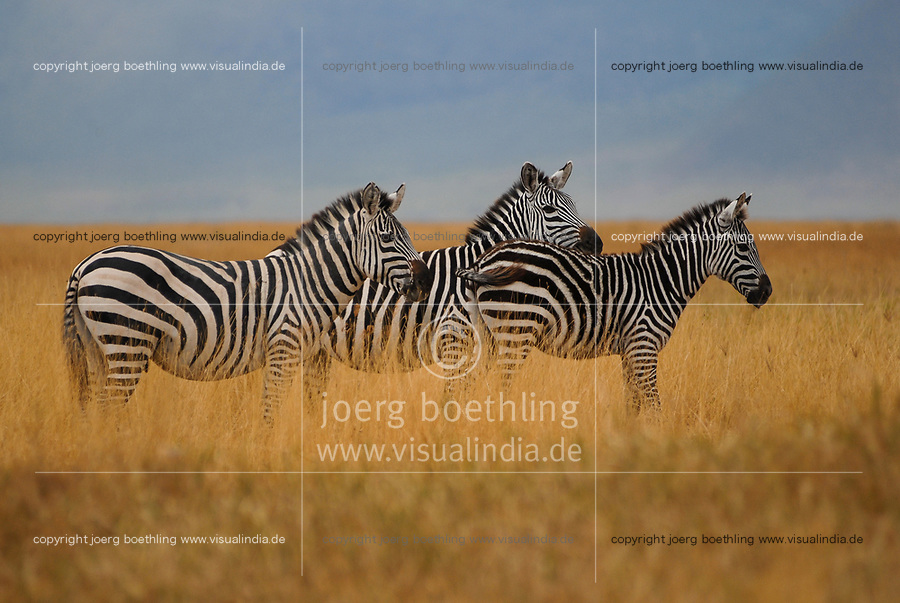 TANZANIA, Nationalpark Ngorongoro Crater near Arusha , Zebra