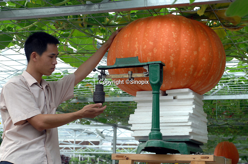 "A scientist looks at giant pumkins at the ""Space Breeding Exhibition Yard"" at the Guangdong Academy of agricultural Sciences, 50 miles outside Guangzhou city. Chinese scientists claim that vegetables and fruit cultivated from the space seeds are larger, more nutritious and safe to eat...PHOTO BY SINOPIX"