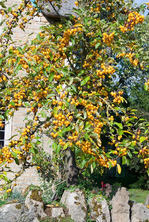 Malus 'Harvest Gold' aka Harzogam crabapple orange yellow fruits