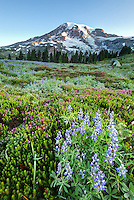 Mount Rainier and subalpine wildflower meadow, Paradise, Mount Rainier National Park, Washington
