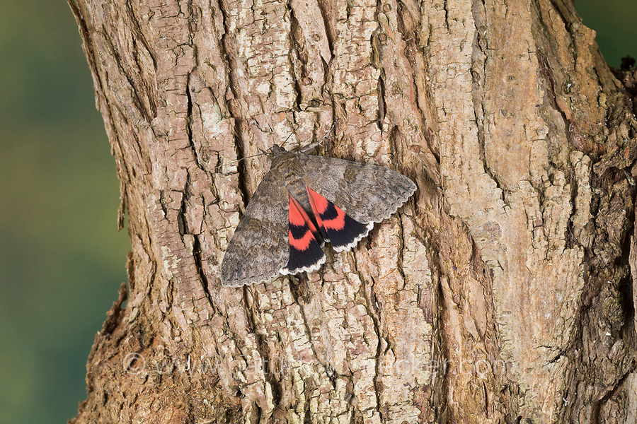 Rotes Ordensband, Catocala nupta, Phalaena nupta, Red Underwing, Red Underwing Moth, la Mariée, la Lichénée mariée, Lichénée du saule, lichénée rouge, Eulenfalter, Noctuidae, noctuid moths, noctuid moth
