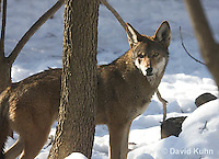 0221-1002  Critically Endangered Red Wolf in Snow, Canis rufus (syn. Canis niger)  © David Kuhn/Dwight Kuhn Photography.