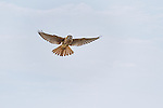 American Kestral in flight  flying towards camera