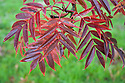 Japanese rowan tree (Sorbus commixta), end October. (Sorbus commixta), end October.