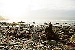 New Zealand Fur Seal (Arctocephalus forsteri) bull sunbathing on shore, Kaikoura, South Island, New Zealand