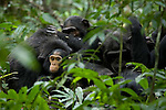 Africa, Uganda, Kibale National Park, Ngogo Chimpanzee Community. Wild Chimpanzee, group grooms, infant looks out