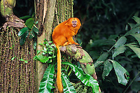Golden Lion Tamarin (Lontopithecus rosalia), range: Brazil, endangered species.