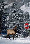 Bull American elk (Cervus elaphus) standing next to STOP sign on snowy road, Rocky Mtn Nat'l Park, CO