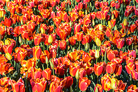 Bed of orange tulips in bloom.
