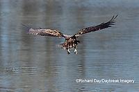 00807-03812 Bald Eagle (Haliaeetus lecocephalus) immature fishing Clinton Co. IL