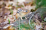Chipmunk on Log in the Woods at Rachel Carson Wildlife Preserve in Wells, Maine