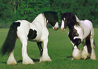 Two Gypsy Vanner stallions face off in green paddock. horses, equine, animals. #628 HR Gypsy Confrontation.