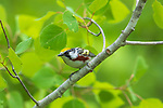 Male chestnut-sided warbler in a northern Wisconsin forest.