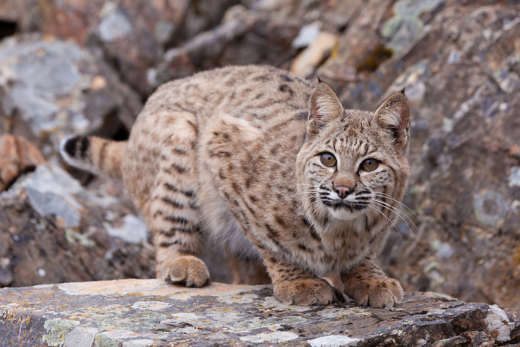 Bobcat crouched on a rocky ledge - CA