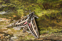 Linienschwärmer, Linien-Schwärmer, Hyles livornica, Celerio lineata, striped hawk-moth, Le Sphinx livournien, Schwärmer, Sphingidae, hawkmoths, hawk moths, sphinx moths, sphinx moth, hawk-moths, hawkmoth