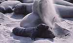 Female elephant seal flipping sand.  In harem with pup