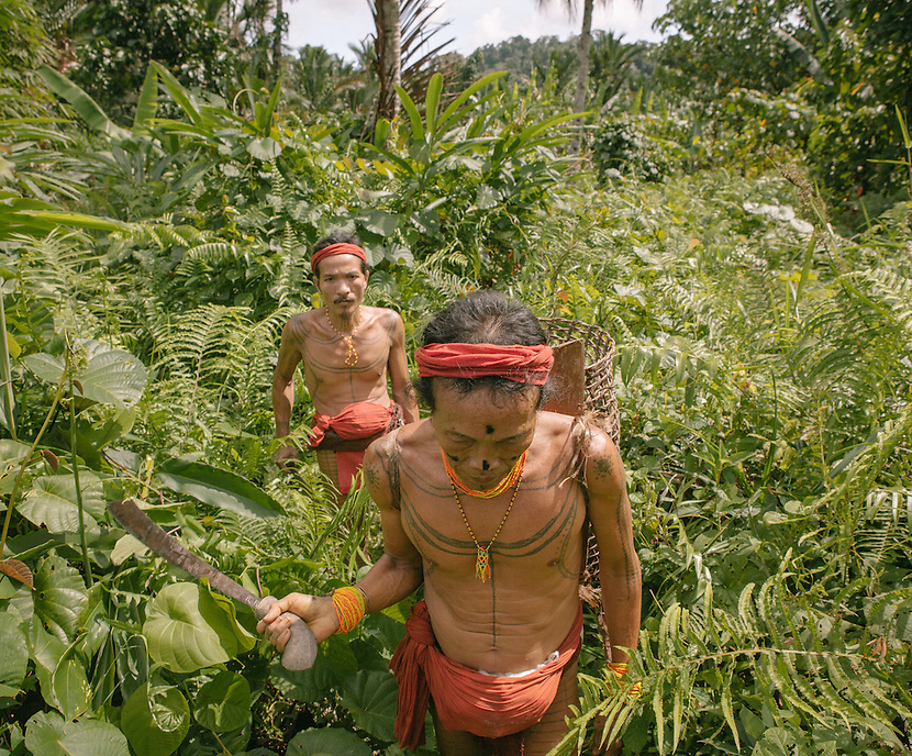 Aman Lau Lau accompanied by Rua Manai are harvesting the food from the jungle. The Mentawai are the tribes living traditionally in the island of Siberut, Indonesia. Here, where the changes came slow, some of the people are still living like their ancestors did centuries ago. They s till practice ancient religion called Arat Sabulungan, which believe that everything in the forest has a spirit.