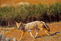 Coyote (Canis latrans).  Northern Great Plains, late summer.