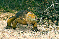 """It is estimated that between 5,000 and 10,000 land iguanas are found in the Galápagos, primarily the islands of Fernandina, Isabela, Santa Cruz, North Seymour, Hood. Charles Darwin called them """"ugly animals, of a yellowish orange beneath, and of a brownish-red colour above: from their low facial angle they have a singularly stupid appearance."""""""