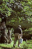 Europe/France/Auvergne/15/Cantal/env de Mandailles: Aprés la préparation en estive du fromage AOC Cantal au buron le fromager va donner le petit lait qui reste aux cochons <br /> PHOTO D'ARCHIVES // ARCHIVAL IMAGES<br /> FRANCE 1980