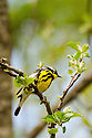A portrait of a beautiful Magnolia Warbler perched in an apple tree.