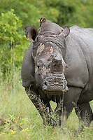 Portrait of a White Rhino with oxpecker in Moremi Game Reserve