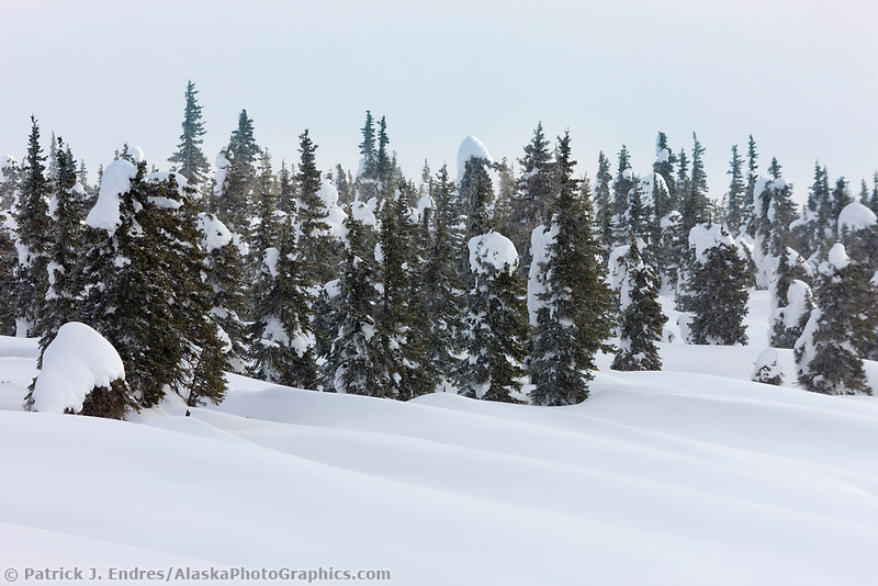 Snow drifts and black spruce trees, Interior, Alaska.