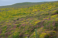Heather and gorse, Isle of Man...Copyright..John Eveson, Dinkling Green Farm, Whitewell, Clitheroe, Lancashire. BB7 3BN.01995 61280. 07973 482705.j.r.eveson@btinternet.com.www.johneveson.com